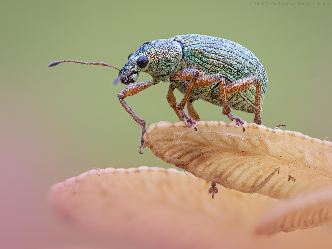 Nettle Weevil II