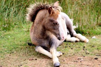 resting foal