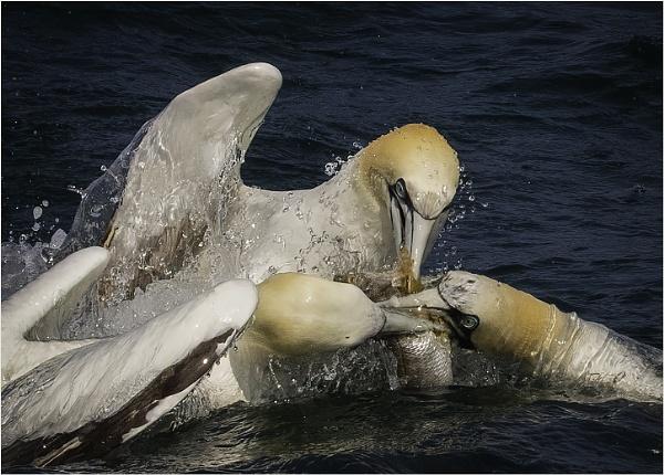 Greedy Gannets by esoxlucius