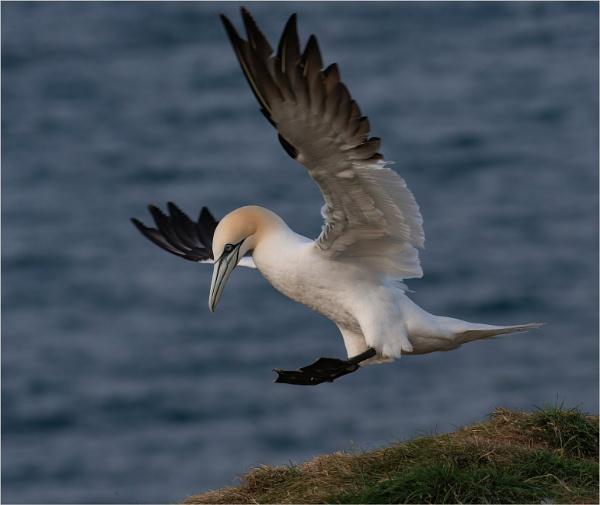 Gannet landing by mjparmy