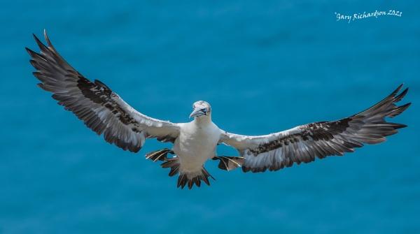 gannet incoming !! by djgaryrichardson