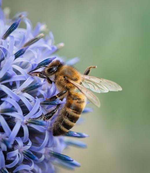 Bee on Globe Thistle by jasonrwl