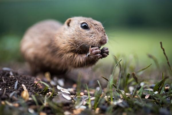 Ground Squirrel by t0m
