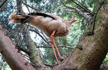 Red-legged Seriema in Tree