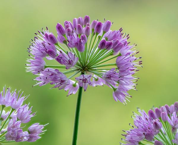 Allium by Dallachy