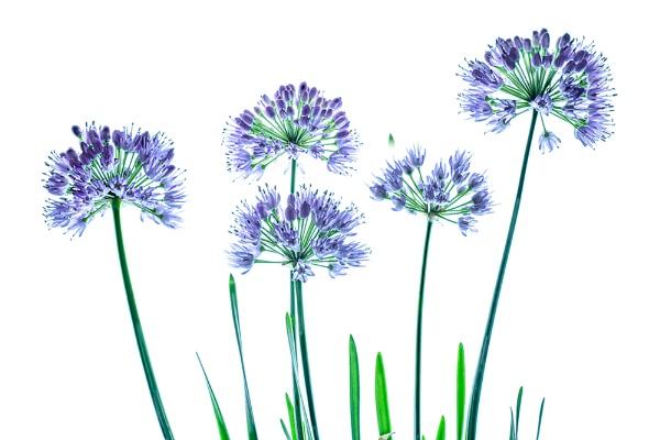 Allium quintette by Dallachy