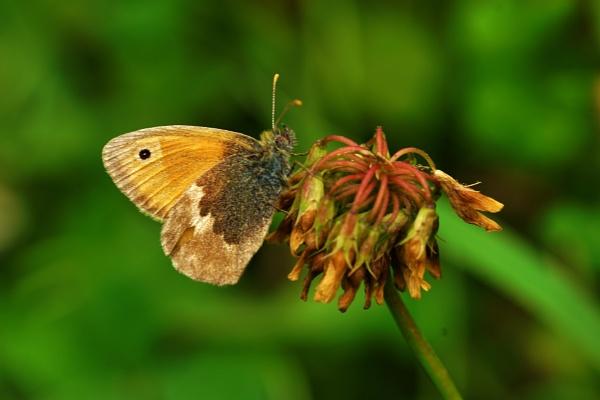 Butterfly Small Heath. by georgiepoolie