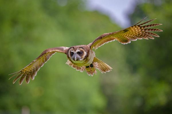Asian Brown Wood Owl by jcannon