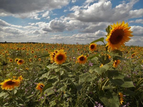 sunflowers by jenny007