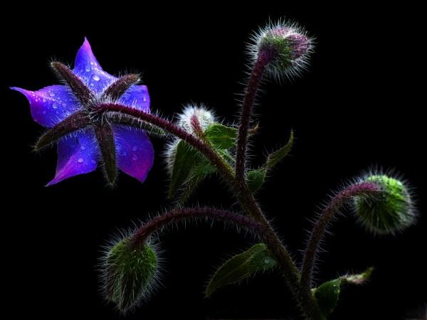 Star Flower by Shedboy
