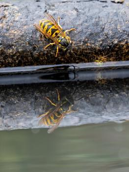 Wasp Reflection