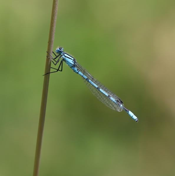 Common Blue damselfly by Steveo28
