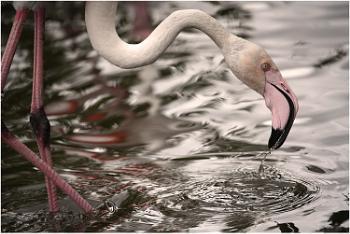 Flamingo Drinking