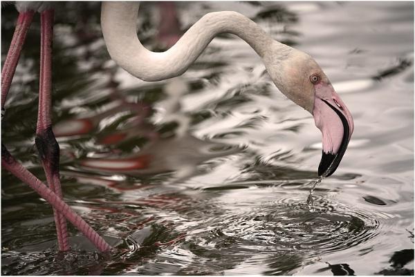 Flamingo Drinking by johnriley1uk