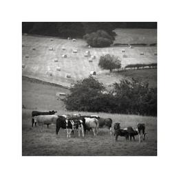 Cowscape III