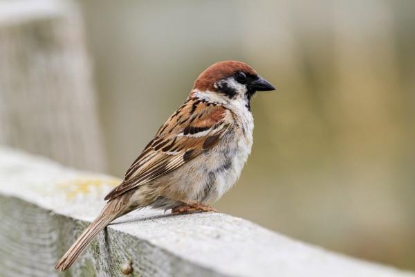 Tree Sparrow by Bill_C