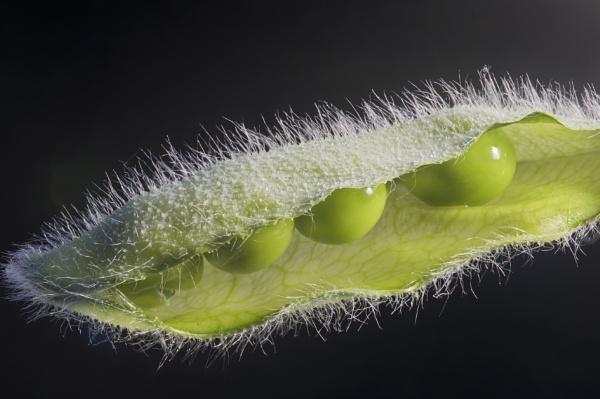 Sweet Pea Seedpod by iangilmour