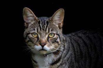 Tabby Cat No 1