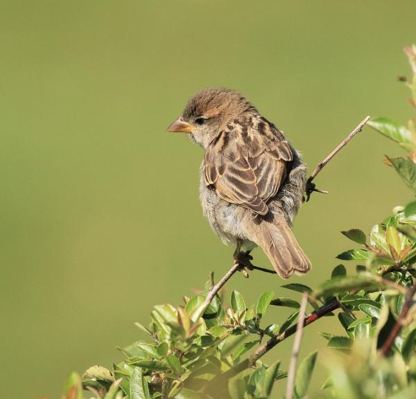 Juvenile Sparrow by canoncarol
