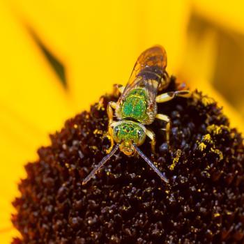 Brown-winged Striped Sweat Bee