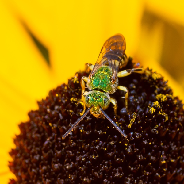 Brown-winged Striped Sweat Bee by BobbyMS