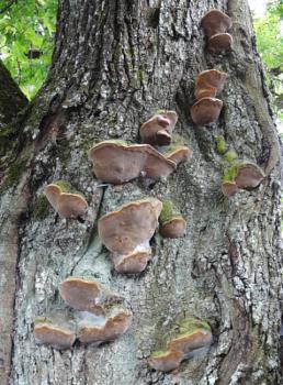 Fungi on an old oak trunk