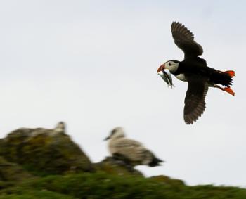 Puffin full of fish - Isle of May, Scotland