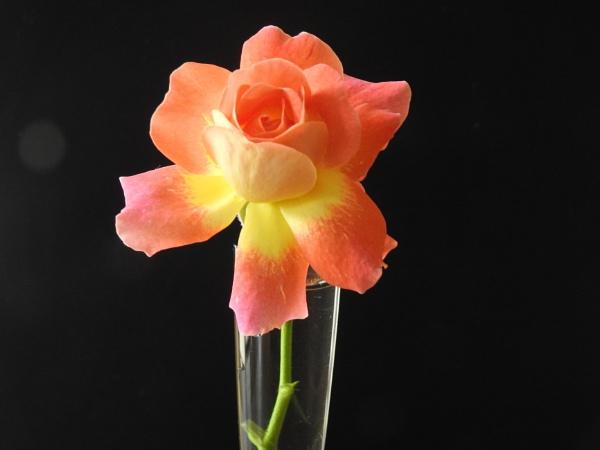 Rose by Alan26