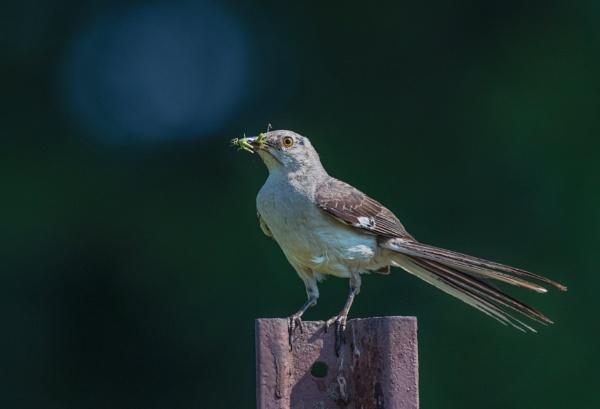 Northern Mockingbird by TDP43