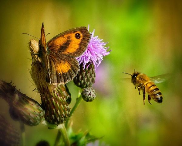 Gatekeeper Butterfly & Bee by Dorothea