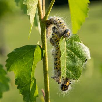 Buff-tip moth caterpillars