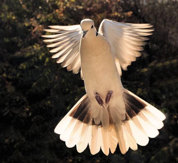 Collard Turtle Dove by Gbloniarz