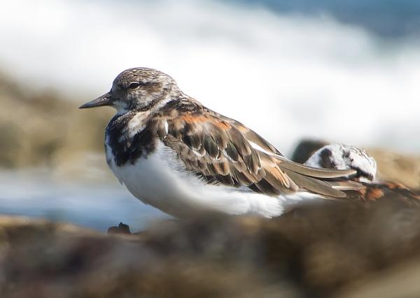 Juvenile black headed gull by steve120464