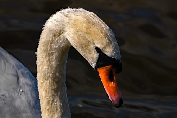 Swan by terra