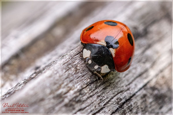 Ladybird on the bird table by Paul_Iddon