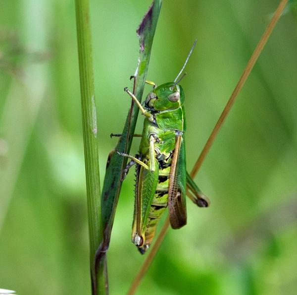 Meadow grasshopper by oldgreyheron