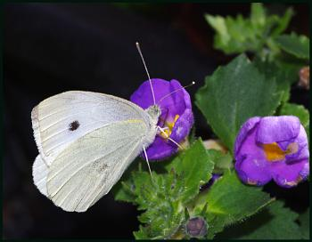 Small White Butterfly 02 :-