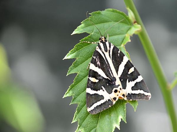 Jersey Tiger Moth (Euplagia quadripunctaria) by MEM