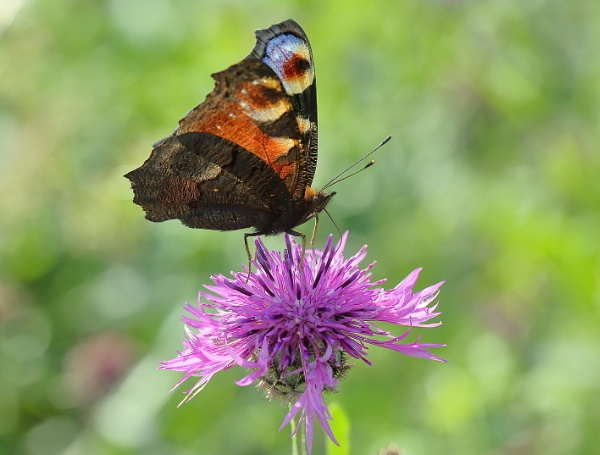 peacock Butterfly by colin beeley
