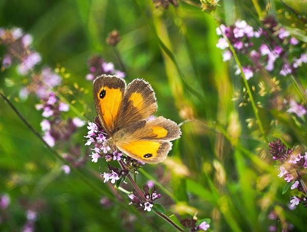 Pretty Butterfly in Heather by Shamley