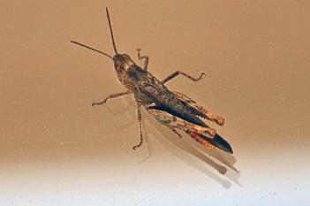 Grasshopper on Glass.
