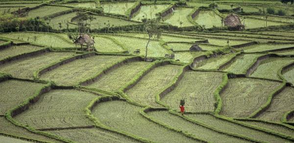 Treading The Rice Path by hwatt