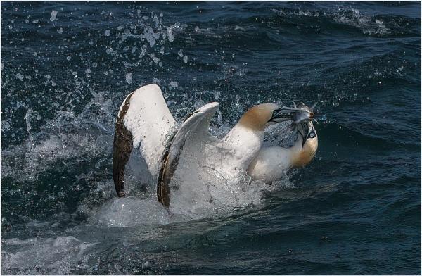 Squabbling Gannets by mjparmy