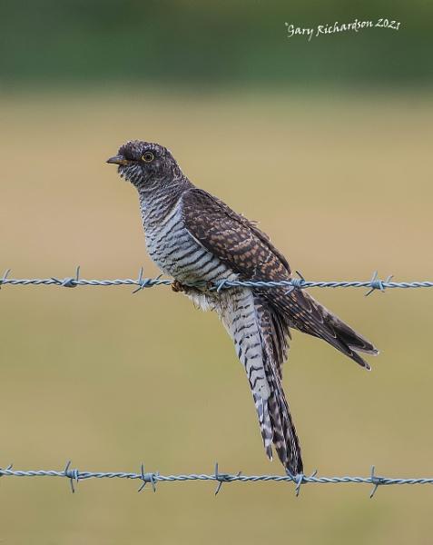 cuckoo (juvenile) by djgaryrichardson