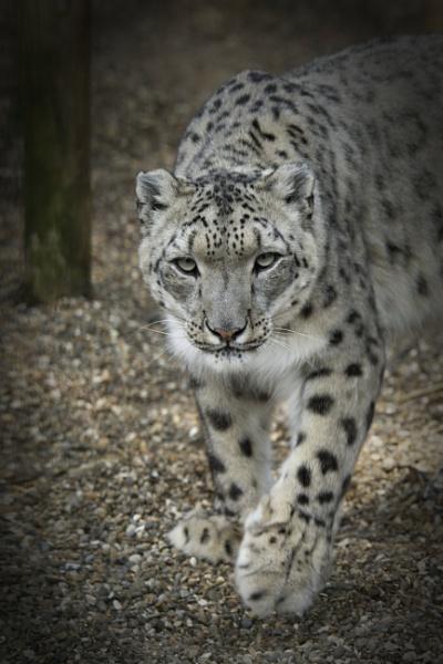 Laila - Snow Leopard by mj.king