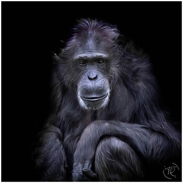 Chimpanzee by tomriley