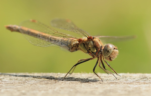 Dragonfly - Darter by canoncarol