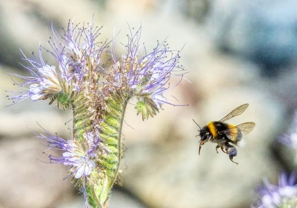 Bumblebee in Lohja 3 by hannukon