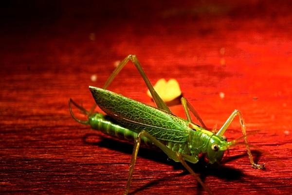 grasshopper or cricket by elousteve