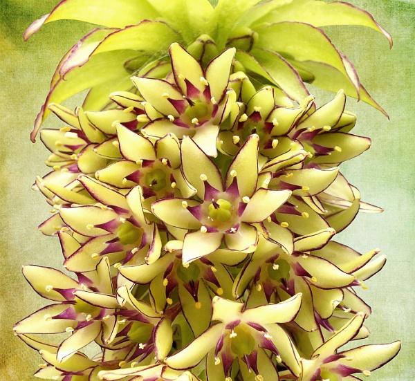 Pineapple Lily 2 by pamelajean